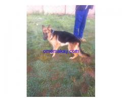 German shephard adult puppy